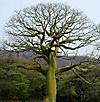 La_ceiba_tree
